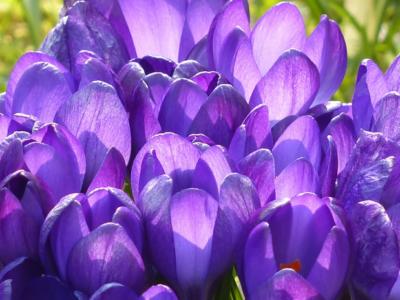 Purple flowers to symbolize Lent 2021